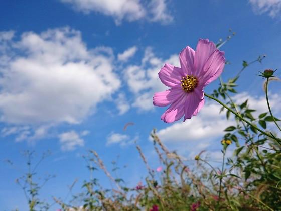 倉庫の隣に咲くコスモス