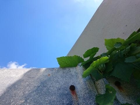 青空の倉庫とカラスウリ