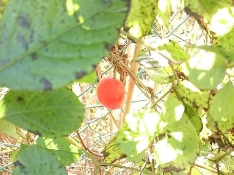 金網に赤い実