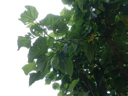 大きな葉をこんもりとつけた6月の「気になる木」