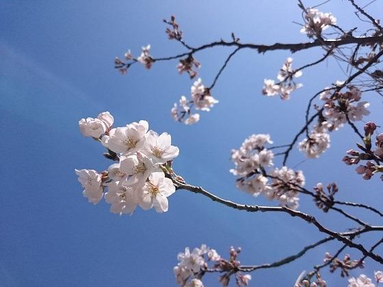 寝室から見える桜