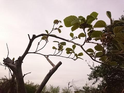 白椿の若葉