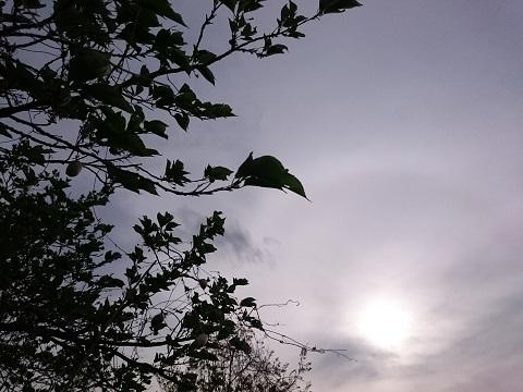 午後の葉桜