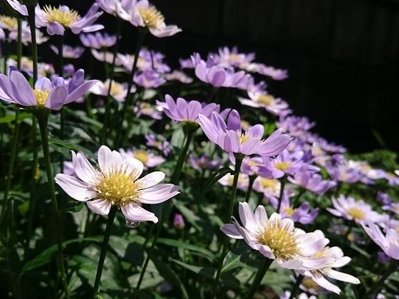 実家の庭で咲いていたミヤコワスレ
