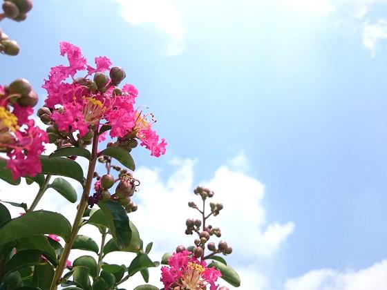 青空とサルスベリの花