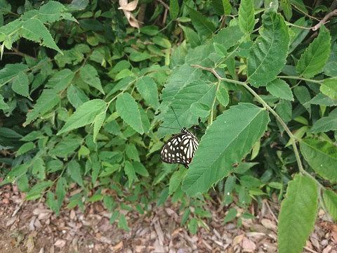 茂みで見つけたアゲハチョウ