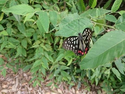 羽を広げるアゲハチョウ
