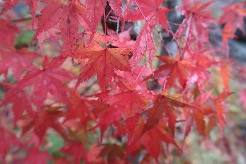 庭の紅葉 湯西川温泉 平家の庄