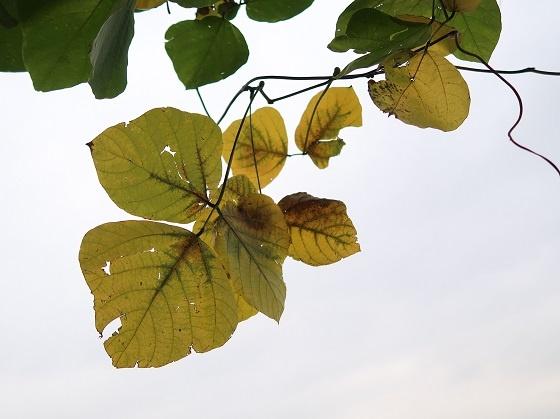 風に揺れる黄色いクズの葉