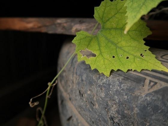 カラスウリの葉