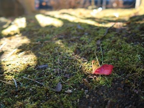 朝日を浴びる苔と落ちた山茶花