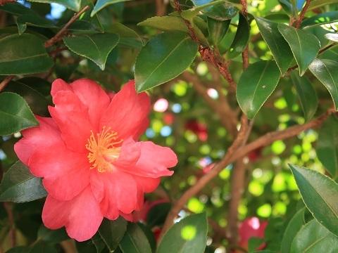 木漏れ日と山茶花