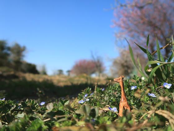 紅梅とオオイヌノフグリが咲く空き地