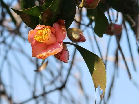 G7 X Mark IIで撮影した花(赤椿)