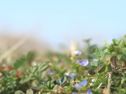 G7 X Mark IIで撮影した花(オオイヌノフグリ)
