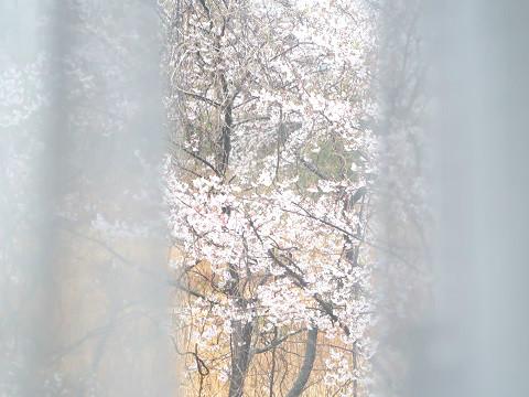 寝室の窓から見た桜