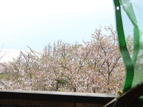 散り始めた桜が見える4月中旬のベランダ