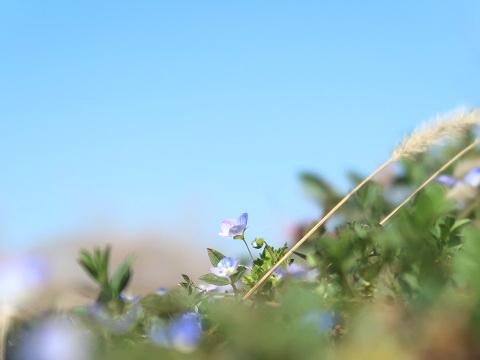倉庫の前に咲くオオイヌノフグリ