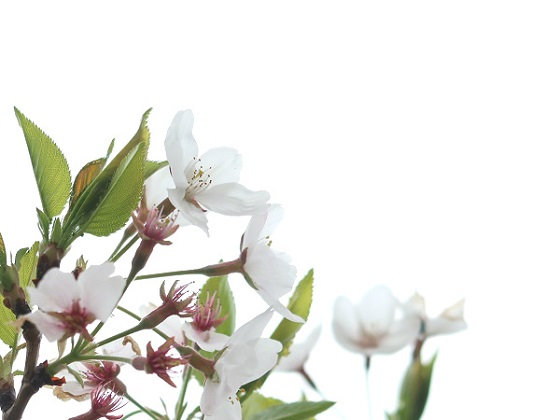 若葉が芽吹く4月中旬の桜