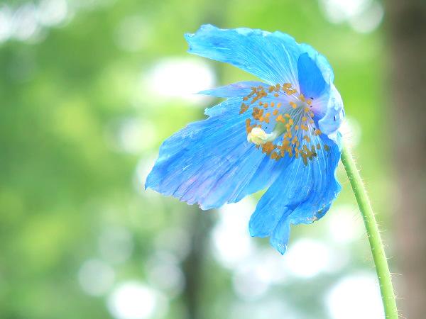 ヒマラヤの青いケシ 日光市 上三依水生植物園