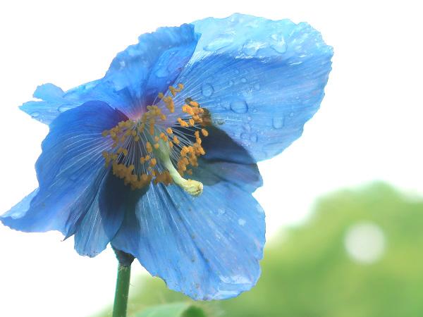 ヒマラヤの青いケシ 上三依水生植物園