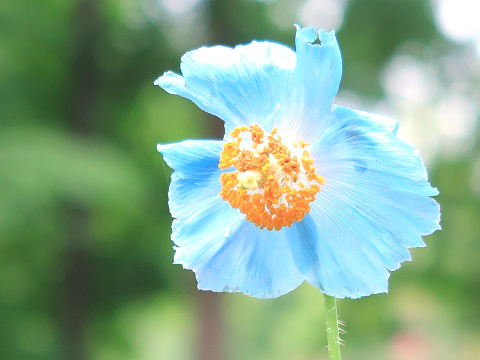 ヒマラヤの青いケシ(メコノプシス) 日光市 上三依水生植物園