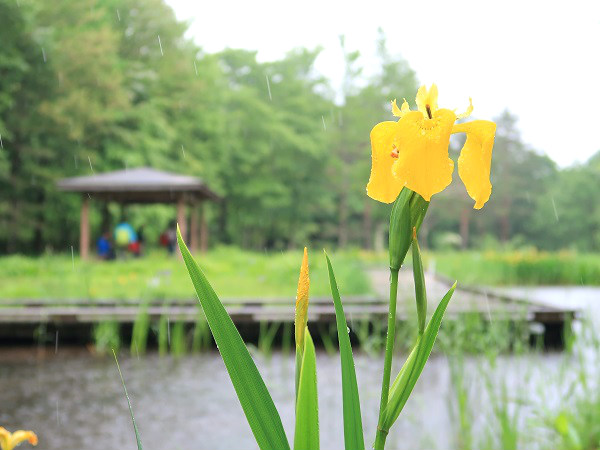 キショウブ 上三依水生植物園