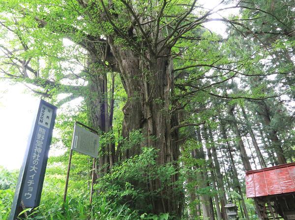 熊野堂神社の大イチョウ 上三依水生植物園