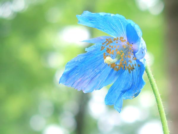 上三依水生植物園 ヒマラヤの青いケシ