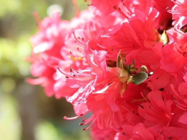 PowerShot G7 X Mark IIで撮影した花(ツツジ)