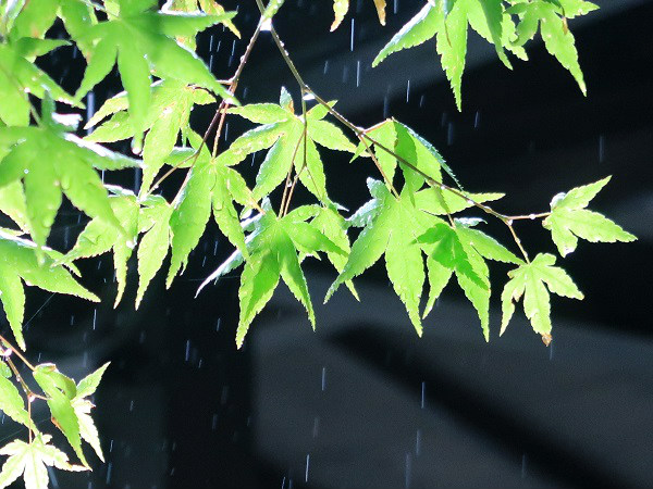 雨と植物 シャッタースピード1/200秒