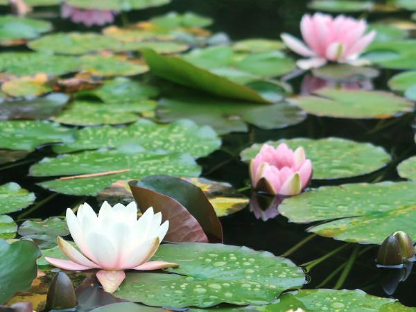 スイレン 上三依水生植物園