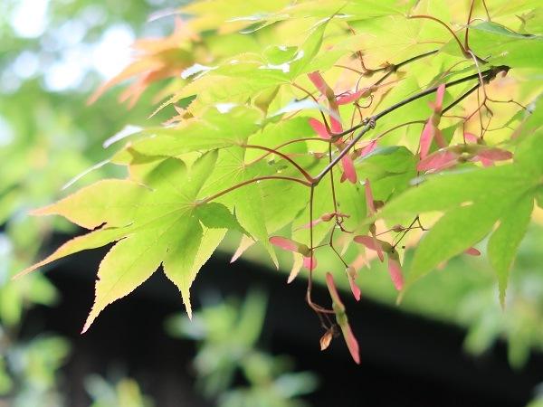 赤くなったモミジの実(種) 7月