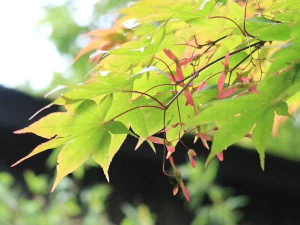 赤く色づいたモミジの実(種)7月