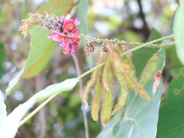 クズの実と花