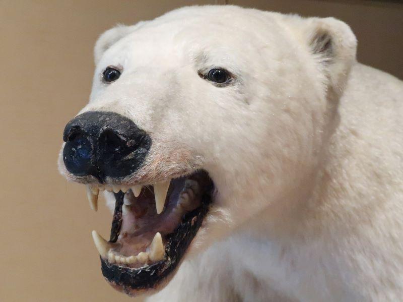 熊のはく製 湯西川くらし館 湯西川水の郷