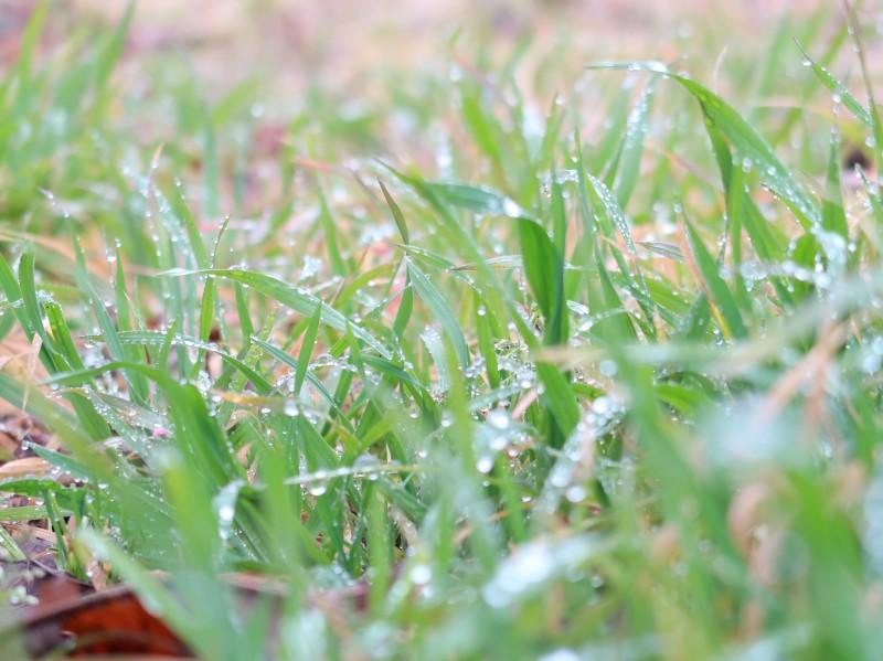 雨上がり 草むらの水滴