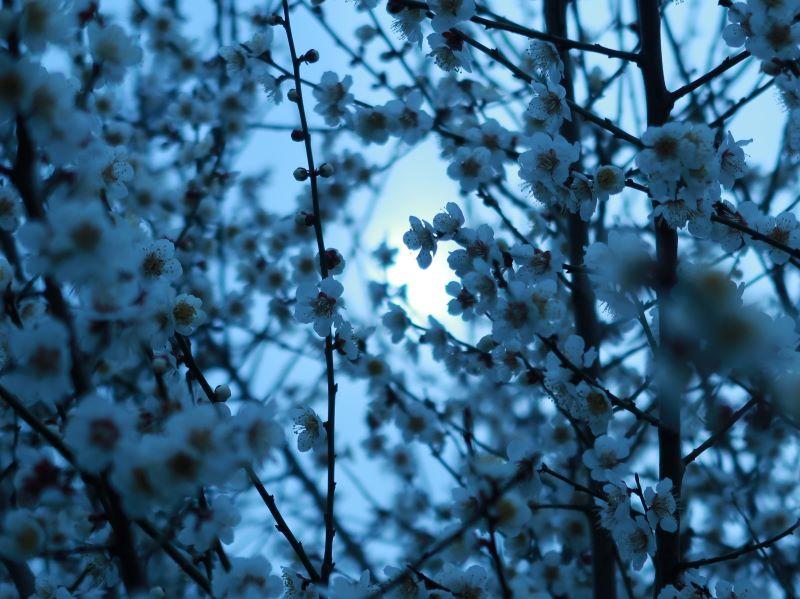 2020年2月 梅の花
