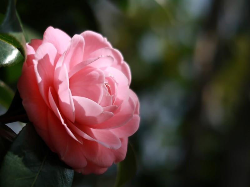2020年3月 椿の花