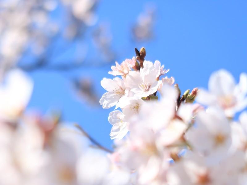 2020年3月 自宅の桜