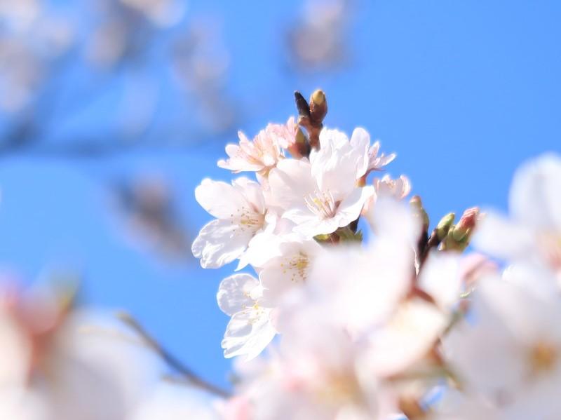 2020年の桜 自宅隣の空き地にて