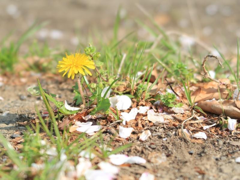 タンポポと桜の花びら