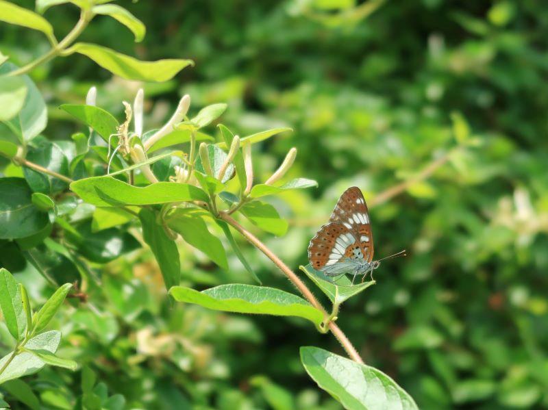 スイカズラと蝶