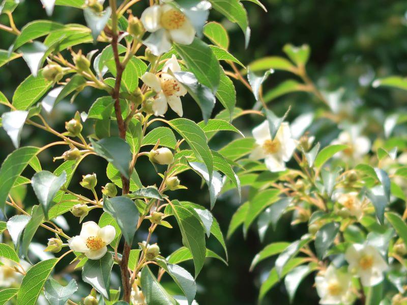 ヒメシャラの花とツボミ