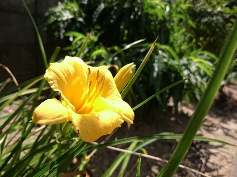 実家の庭に咲くデイリリー