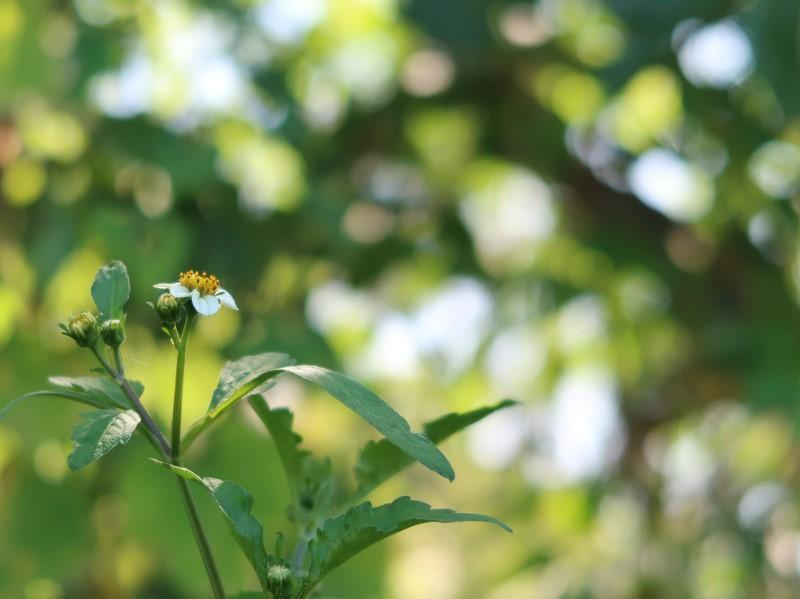 木陰のシロバナセンダングサ