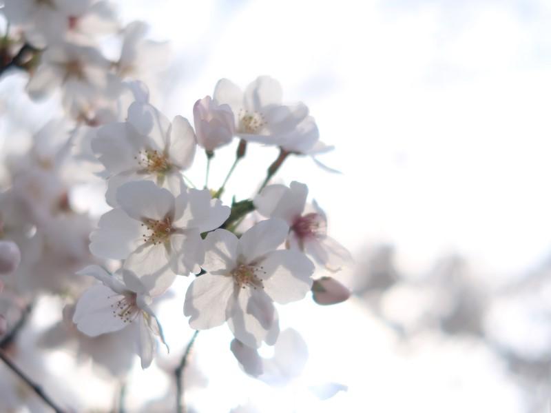桜(加工前)