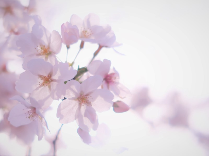 Windows10フォトで加工した桜の写真
