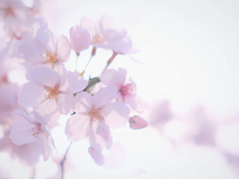 加工後の桜の写真
