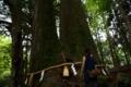 京都新聞写真コンテスト 相生の杉